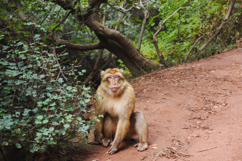 Moneky on Ouzoud Falls Day Trip from Marrakech