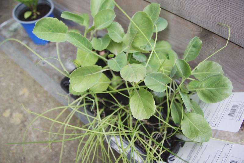 Vegetable Garden - Cabbages