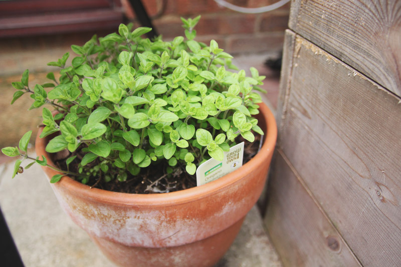 Vegetable Garden - Oregano