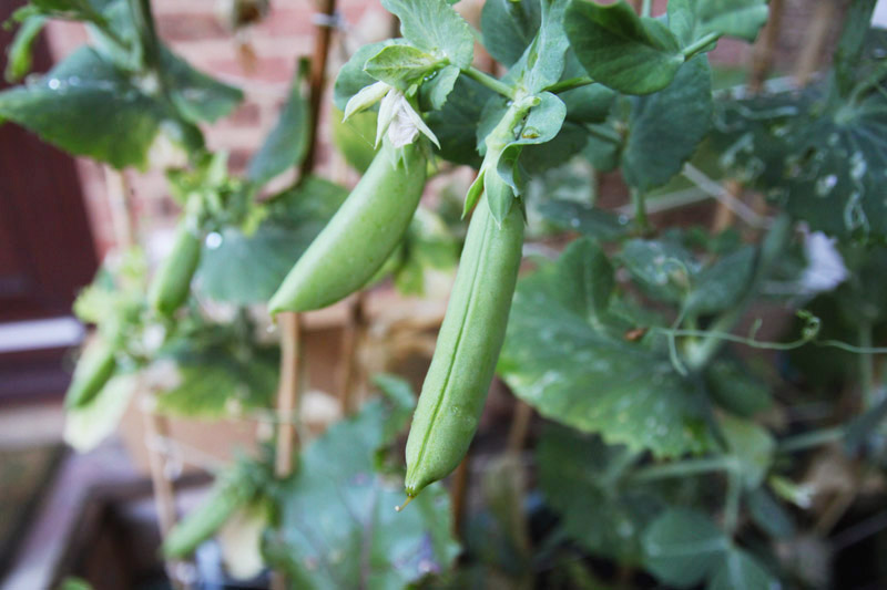 Vegetable Garden - peas