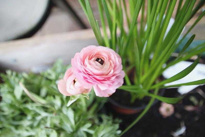 Ranunculus Plant