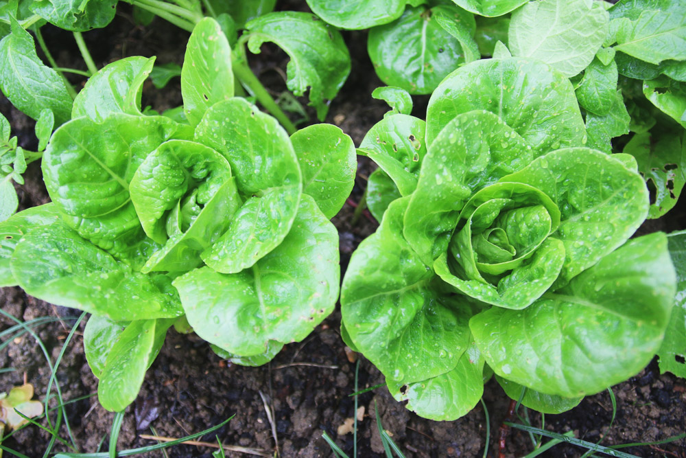Vegetable Garden - Little Gem Lettuce
