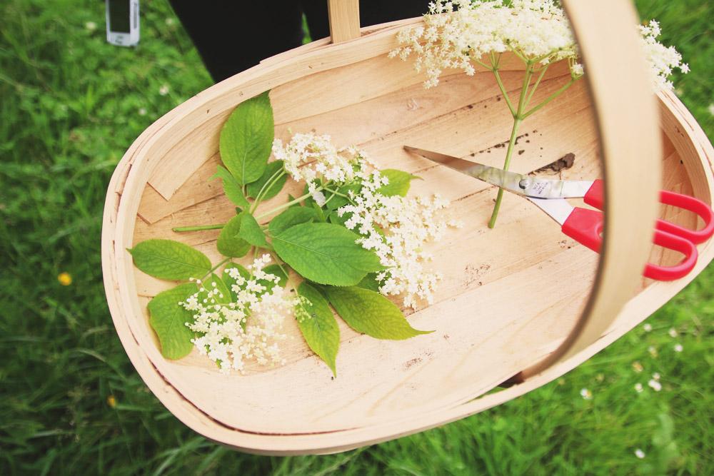 Harvesting Elderflowers