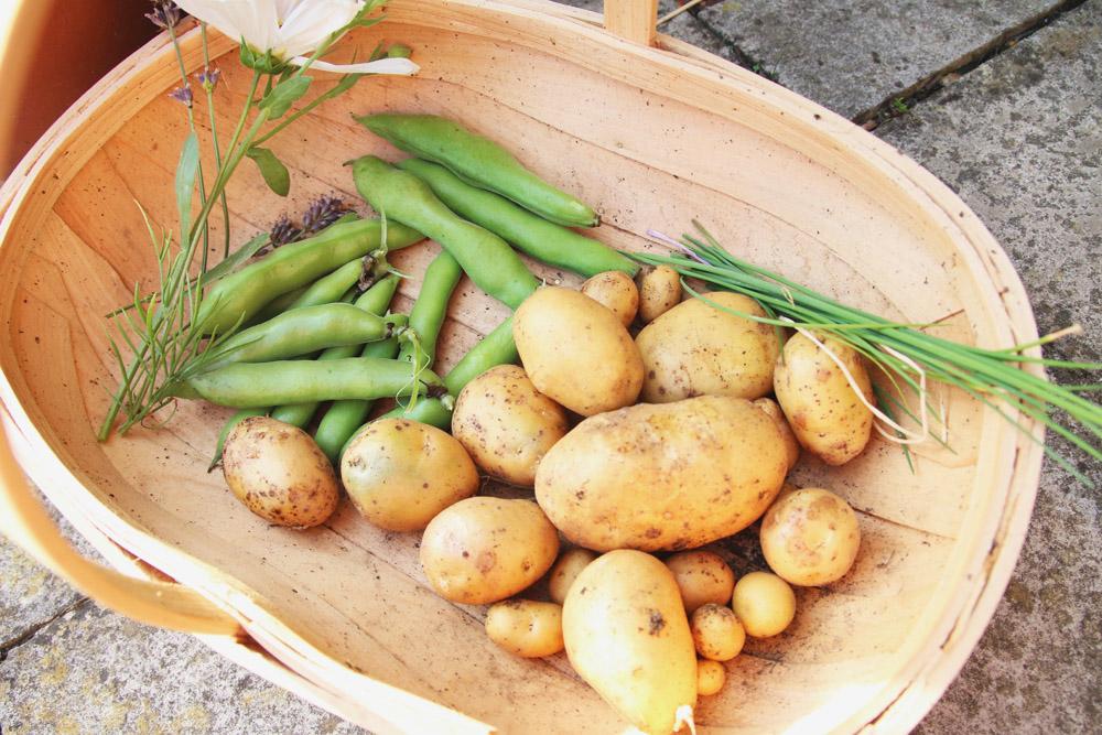 Vegetable Garden - Potato Harvest