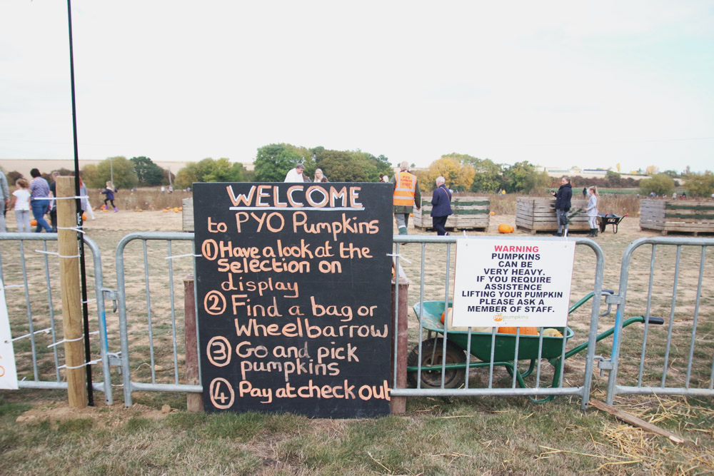 Pumpkin Picking at PYO Pumpkins, Kent