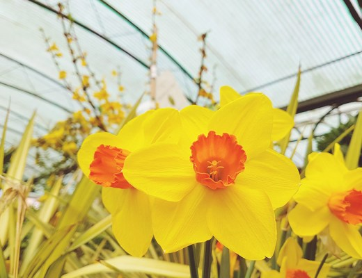 Daffodils at Garden Centre