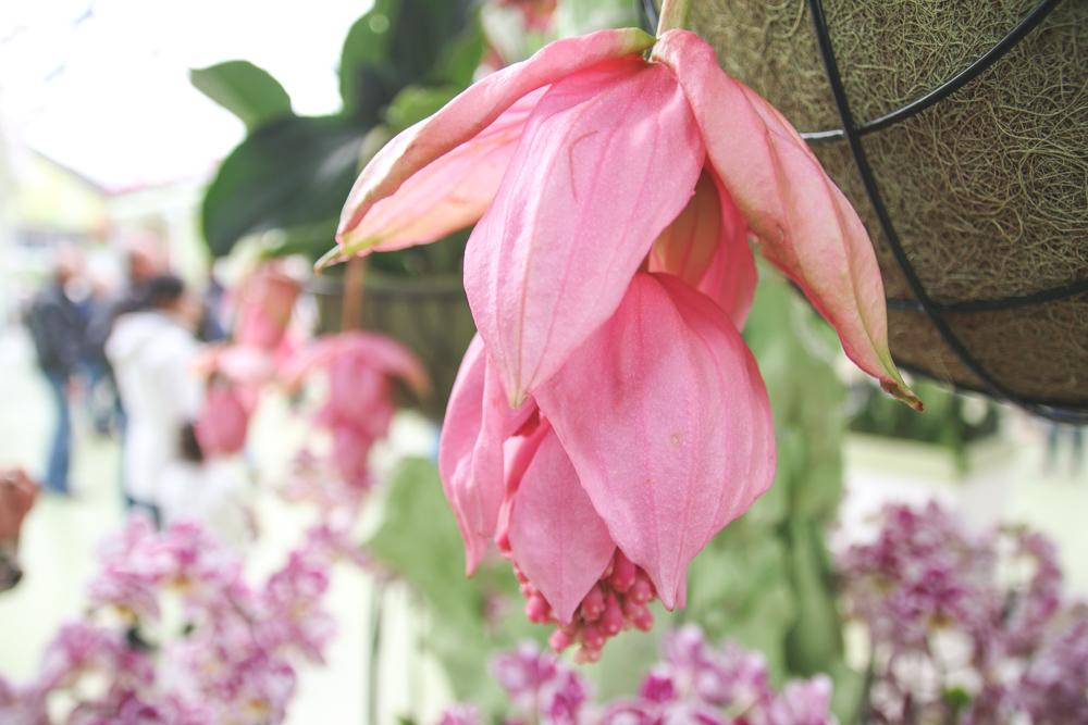 Orchid at Keukenhof Gardens, Holland