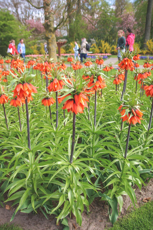Flowers at Keukenhof Gardens, Holland