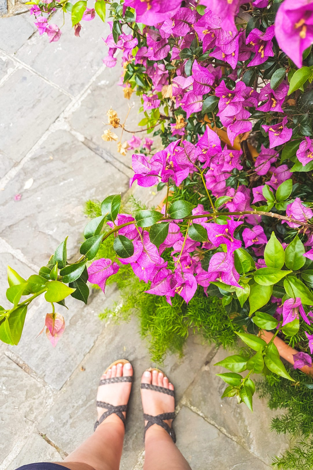 Bougainvillea Flowers in Portofino, Liguria, Italy