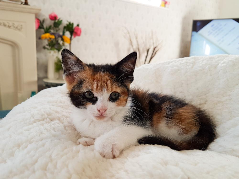 Isla the Cat, Calico Cat, Calico Kitten