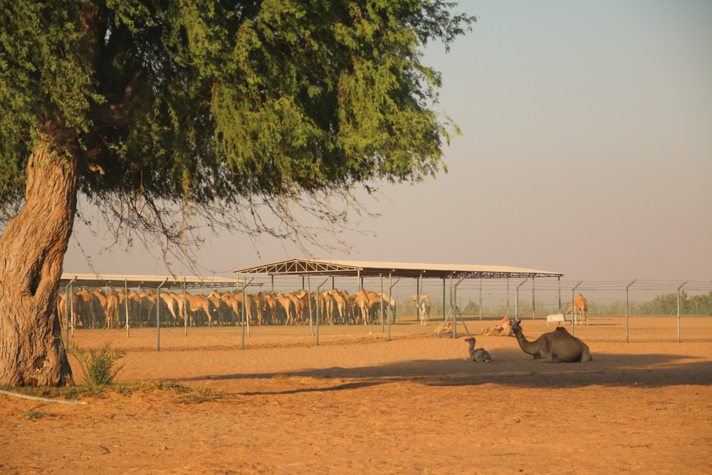Camel Farm in the Dubai Desert