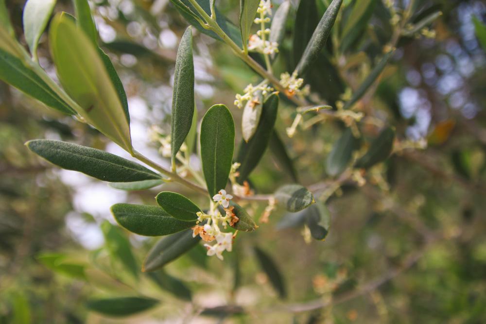 Olive Trees in Sirmione, Lake Garda