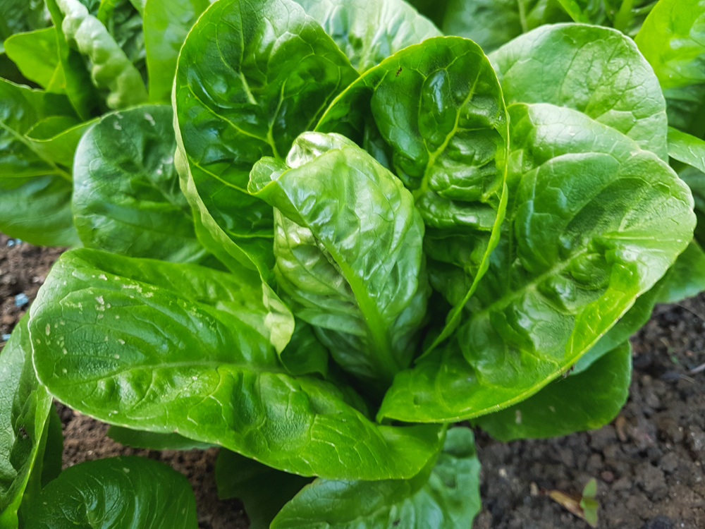 Vegetable Garden Little Gem Lettuce