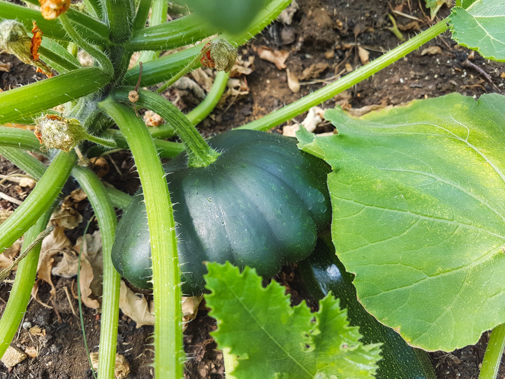 Vegetable Garden Courgette