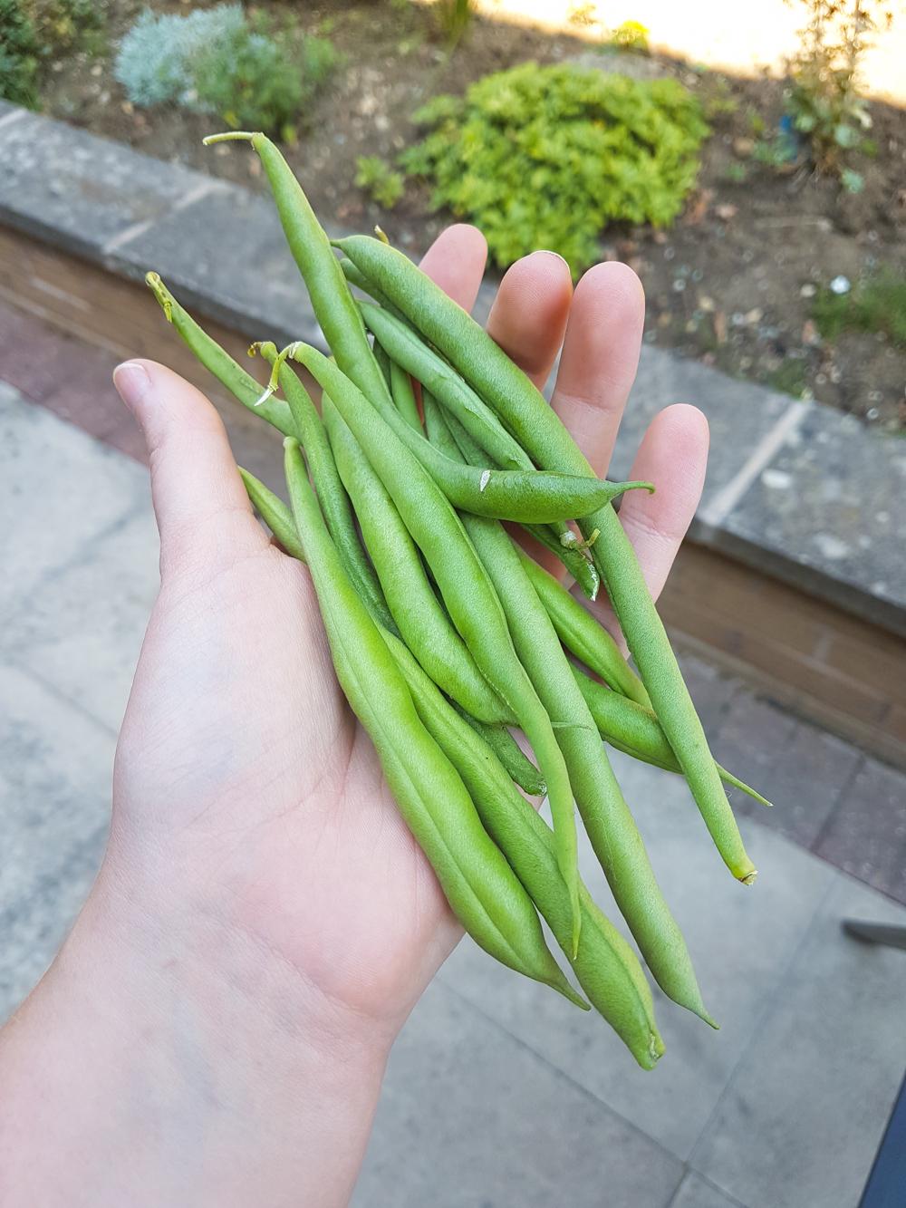 Vegetable Garden Green Beans