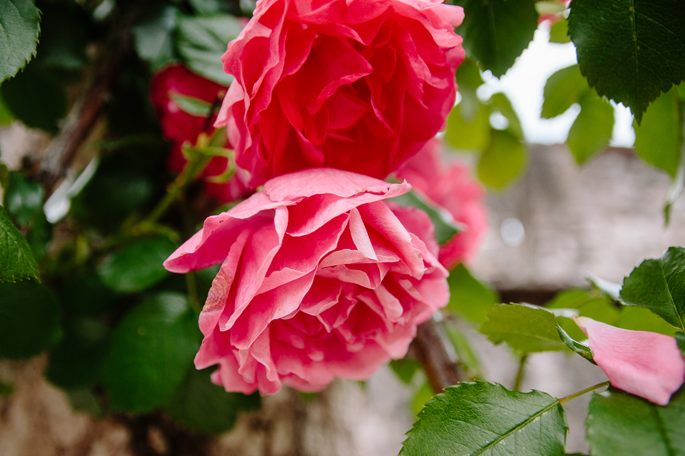 Roses in the Garden of Castello del Buonconsiglio in Trento Italy
