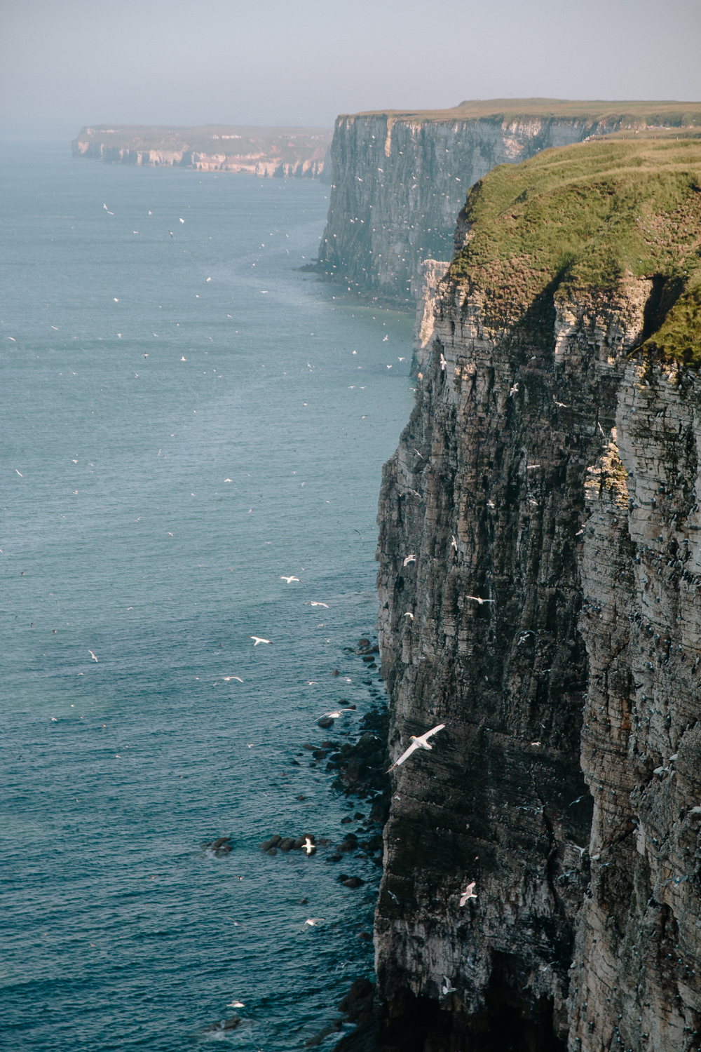 Birds on Cliffs at RSPB Bempton Cliffs in East Yorkshire