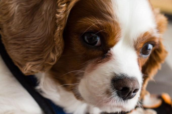 Cavalier King Charles Spaniel: My Harrison Ford