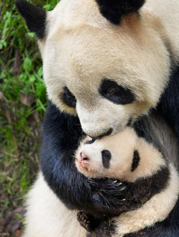 Support Pandas and Snow Leopards by Seeing – DisneyNature's Born in China