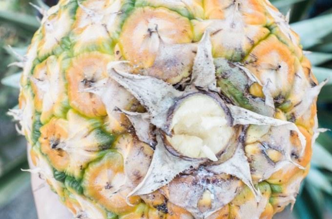 How to Grow Pineapple