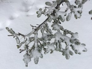 snow on branch