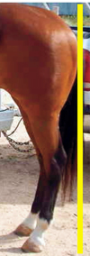 Sickle Hocks can cause the horse to stand 'under' itself