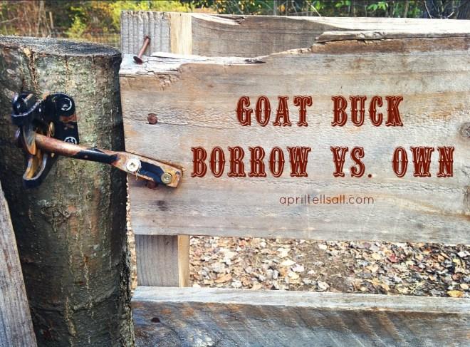 goatbuck