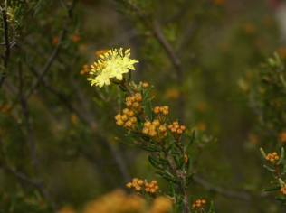 Phebalium squamulosum - Photo J. Lulham