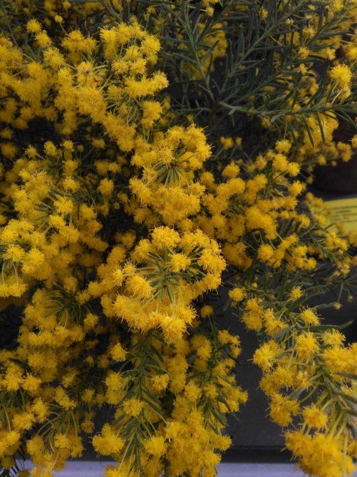 Acacia imbricata
