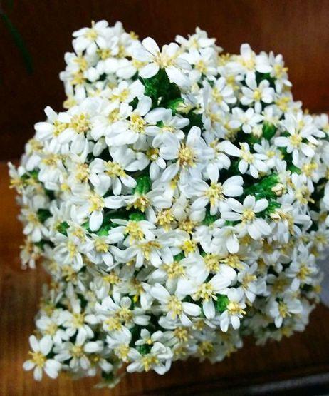 Olearia teretifolia (Vic, SA, <1m, compact pine-like fine foliage, dense covering of small white daisy flowers)