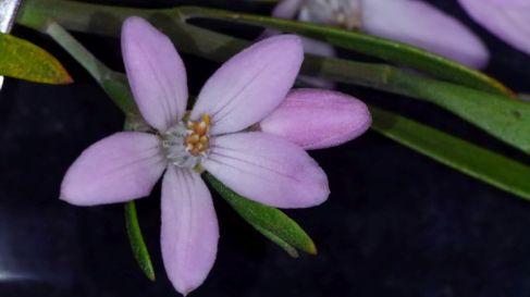 Eriostemon australasius (NSW coastal, pink, white, & red forms)