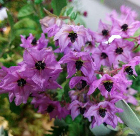 Thomasia purpurea x solanacea (floriferous, very hairy)
