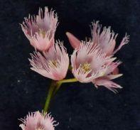 Elaeocarpus reticulatus (Blueberry Ash)