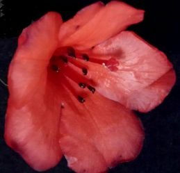 Rhododendron lochiae
