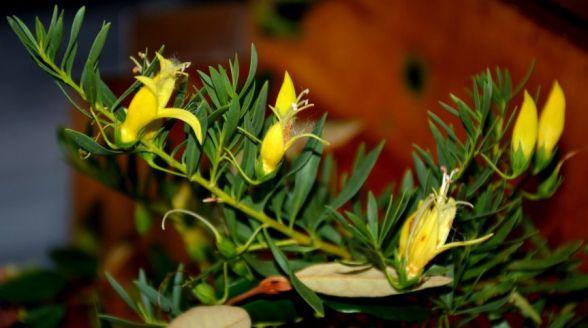Eremophila 'Aurea'