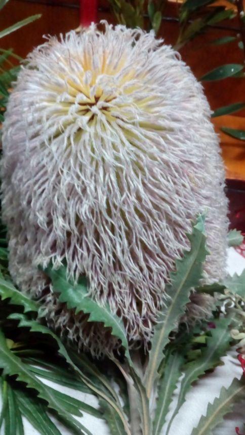 Banksia baueri (Possum Banksia)