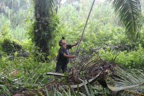 Menino faz colheita em dendezeiros em La Confianza. Foto: ICIJ