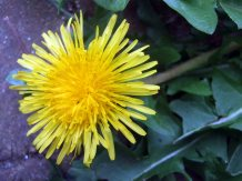 the beauty of a dandelion!