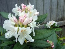 best Rhododendron we ever had!