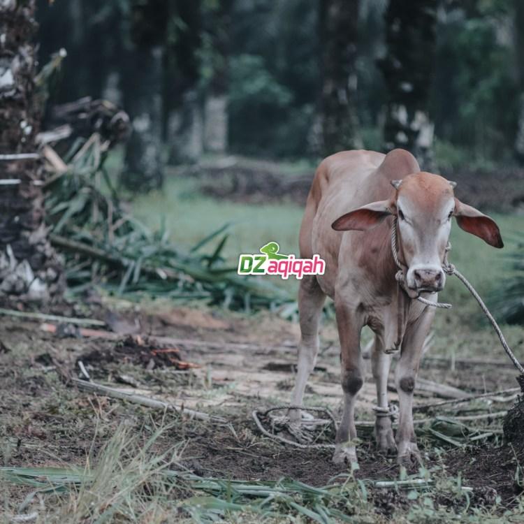 Harga Domba Qurban Terbaik di Purwakarta