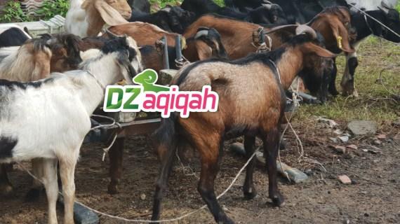 Harga Kambing dan Domba di Purwakarta