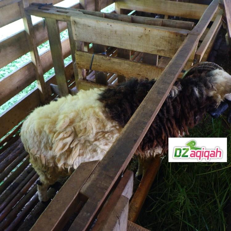 list Harga Domba Kurban Di Purwakarta