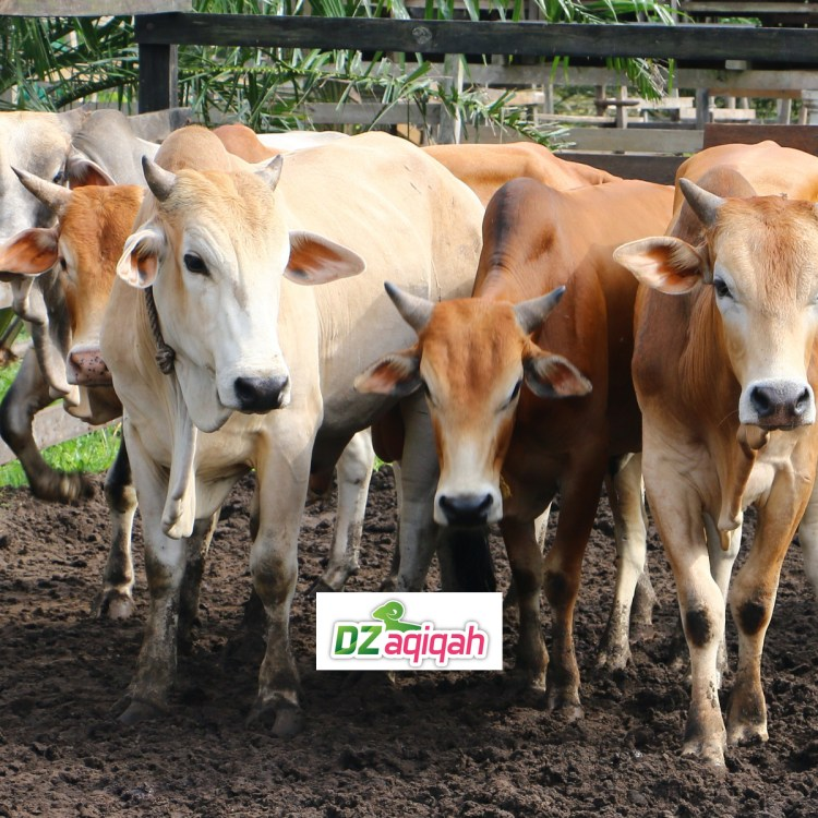 harga sapi kurban di purwakarta