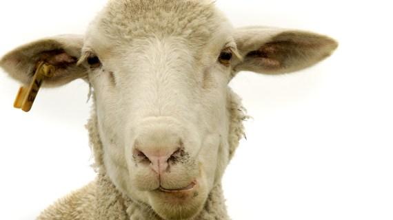 Peternakan Sapi Dan Domba Kurban Di Purwakarta