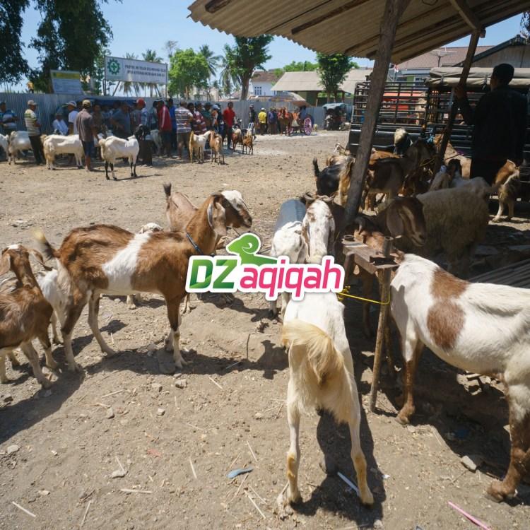 Peternakan Kambing untuk Aqiqah dan Qurban di Purwakarta