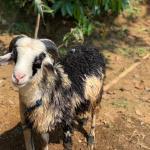 Alamat penjual domba dan kambing aqiqah di Purwakarta