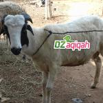 Tips Memilih Peternak Domba Kambing dan Sapi di PurwakartaUntuk Kurban