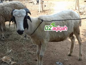 Tips Memilih Peternak Domba Kambing dan Sapi di Purwakarta Untuk Kurban