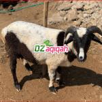 Harga Kambing Aqiqah 2019 dan 2020 Purwakarta