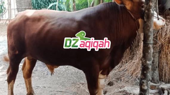 Sapi Qurban 2019 dan 2020 Purwakarta